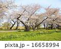 ソメイヨシノ 桜 花の写真 16658994