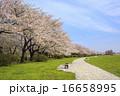 ソメイヨシノ 桜 道の写真 16658995