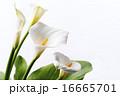 咲く オランダカイウ カラーリリーの写真 16665701