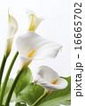 咲く オランダカイウ カラーリリーの写真 16665702