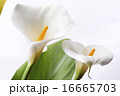 咲く カラーリリー オランダカイウの写真 16665703