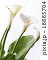 咲く オランダカイウ カラーリリーの写真 16665704