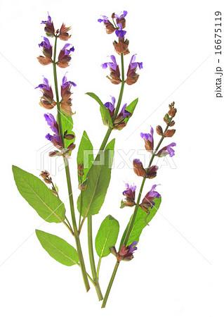 Sage (Salvia officinalis)の写真素材 [16675119] - PIXTA