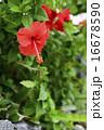 竹富の路地に咲くハイビスカス 16678590