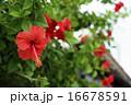 南国 花 ハイビスカスの写真 16678591