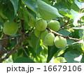 梅の実 16679106