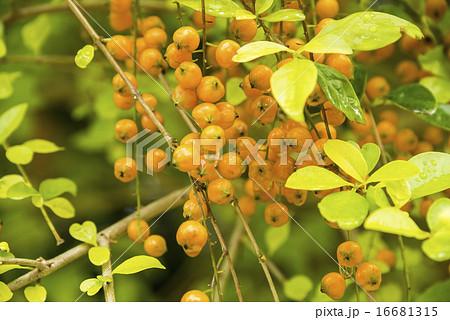 黄色の実をつけたつる性の植物 16681315