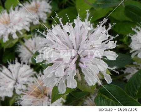 夏を彩るモナルダの白い花 16687350