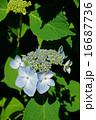 落葉低木 額紫陽花 花の写真 16687736