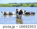 牛 うし 水浴び 放牧 利根川 畜産業 16692953