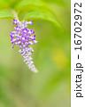 ウツギ フサフジウツギ 花の写真 16702972