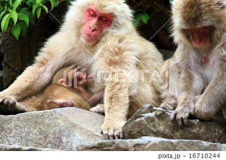 母猿の乳を飲む猿の赤ちゃん 16710244