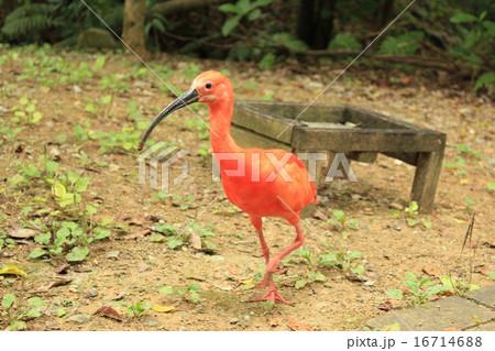 赤い鳥のショウジョウトキ(猩猩朱鷺、猩々朱鷺) 16714688