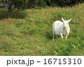 草を食む山羊 16715310