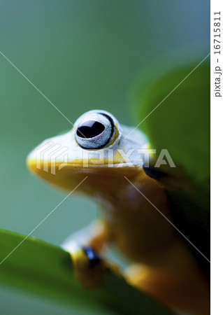 Flying Frog, Rhacophorus reinwardtii on colorful background