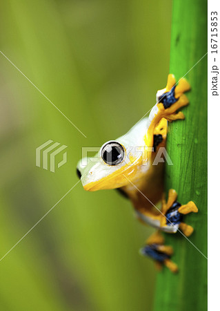 Flying Frog, Rhacophorus reinwardtii on colorful background