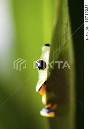 Flying Frog in the jungle on colorful background