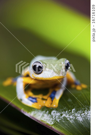 Exotic frog in indonesia, Rhacophorus reinwardtii on colorful background