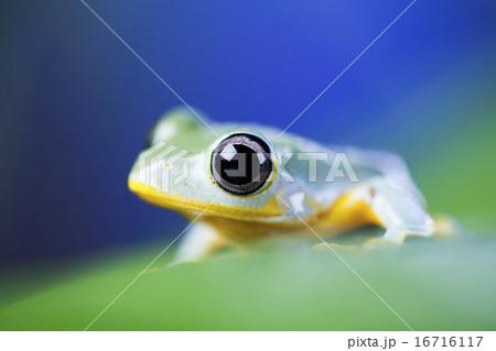 Exotic frog in indonesia, Rhacophorus reinwardtii on colorful background