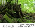 切り株 スッカン沢 風景の写真 16717277
