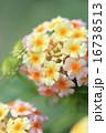 七変化 ランタナ 花の写真 16738513