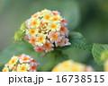 七変化 ランタナ 花の写真 16738515