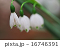 スノーフレーク 16746391
