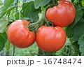 トマト 16748474