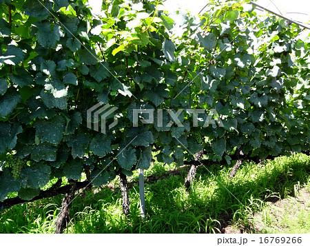 棒仕立てのブドウ畑 16769266