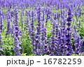ブルーサルビアの花壇 16782259