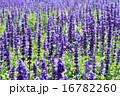 ブルーサルビアの花壇 16782260
