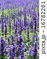 ブルーサルビアの花壇 16782261