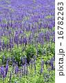 ブルーサルビアの花壇 16782263