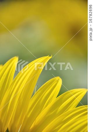マクロレンズによるひまわりの花ビラのクローズアップ撮影 16782696