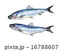鰯 真鰯 青魚のイラスト 16788607
