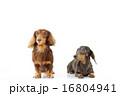 ミニチュアダックス 2匹 16804941