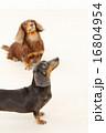 ブラックタン ミニチュアダックス 動物の写真 16804954