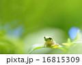 かえる 16815309