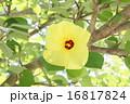 アオイ科 落葉低木 ハマボウの写真 16817824