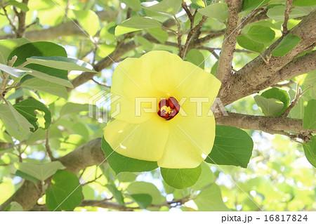 ハマボウの花 16817824