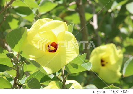 ハマボウの花 16817825