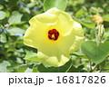 アオイ科 落葉低木 ハマボウの写真 16817826