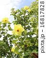 アオイ科 落葉低木 ハマボウの写真 16817828