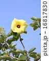 アオイ科 落葉低木 ハマボウの写真 16817830