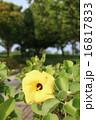 アオイ科 落葉低木 ハマボウの写真 16817833