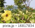 アオイ科 落葉低木 ハマボウの写真 16817834