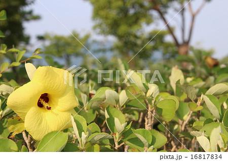 ハマボウの花 16817834