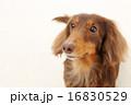 ロングコート ミニチュアダックス 動物の写真 16830529