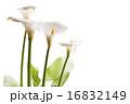 咲く オランダカイウ カラーリリーの写真 16832149