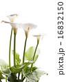 咲く オランダカイウ カラーリリーの写真 16832150